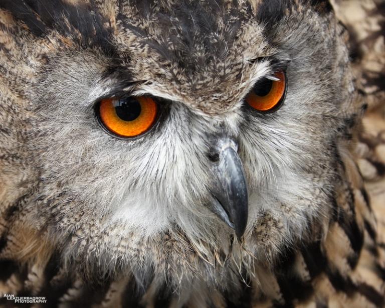 eagleowl2