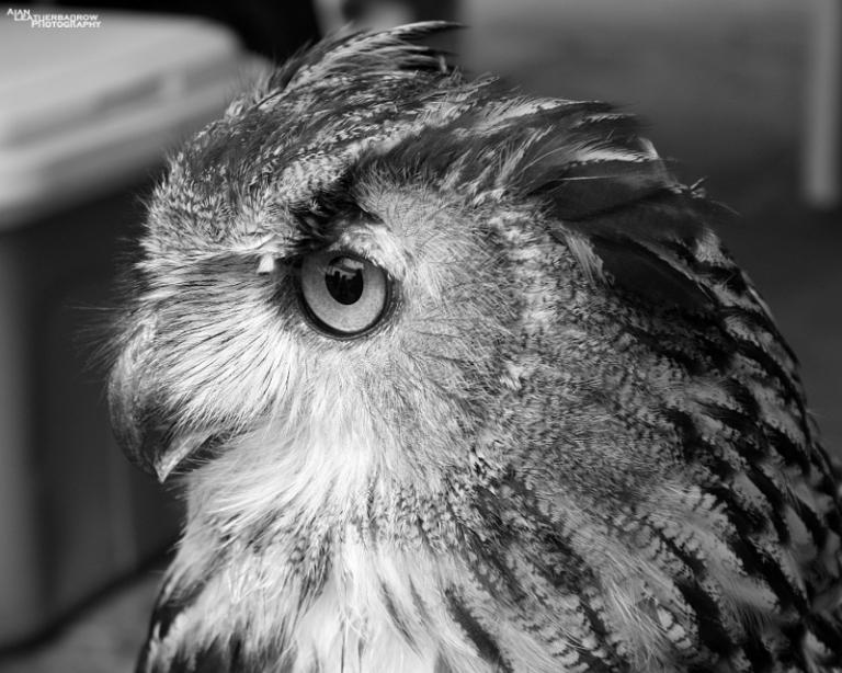 eagleowl4