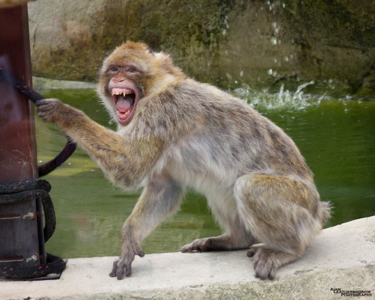 barbary-macaque2