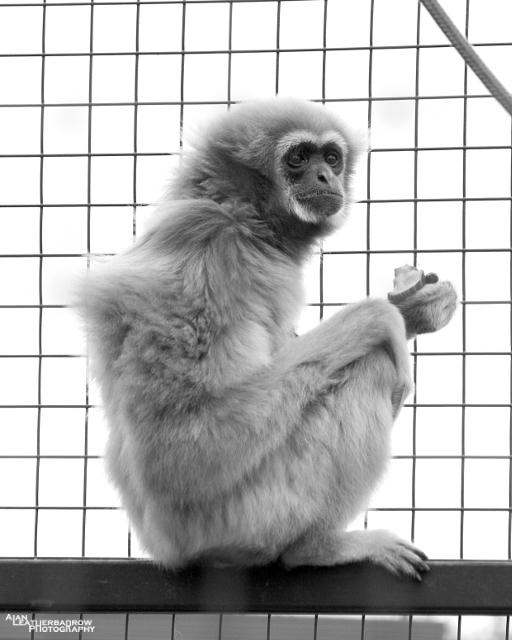 lar-gibbon