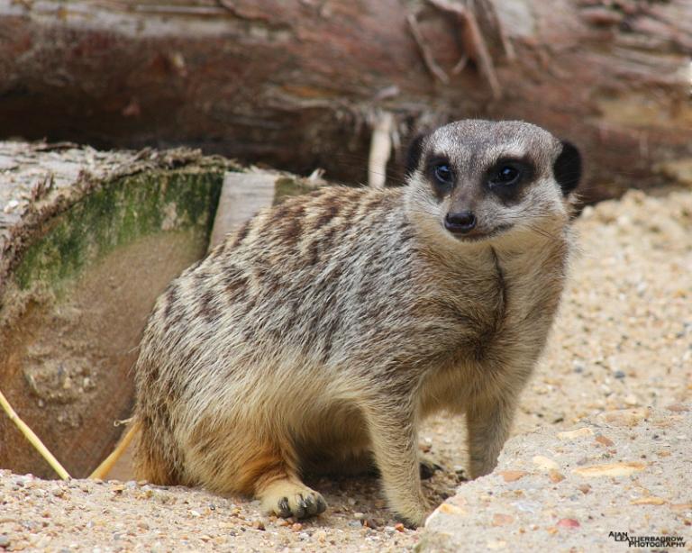 meerkat0815