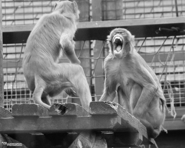 monkeyfight