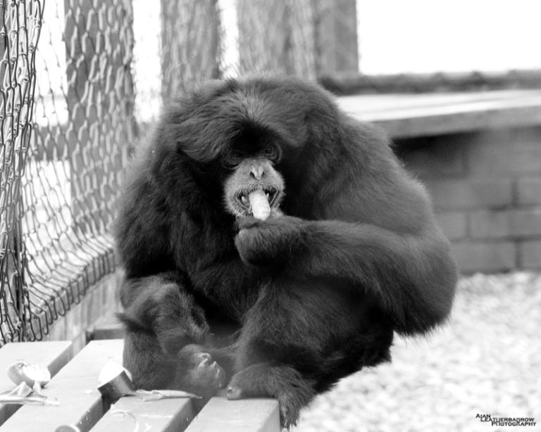 siamang-gibbon4