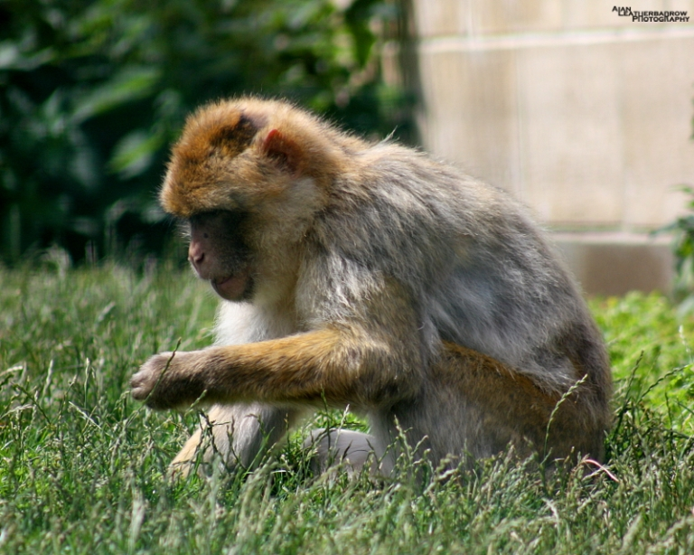 barbary-macaque3