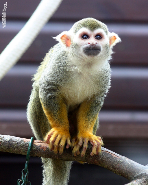 squirrel-monkey3