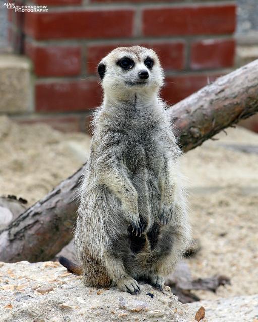 meerkat08152