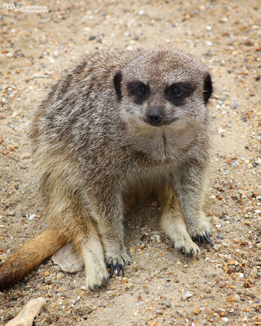 meerkat08153