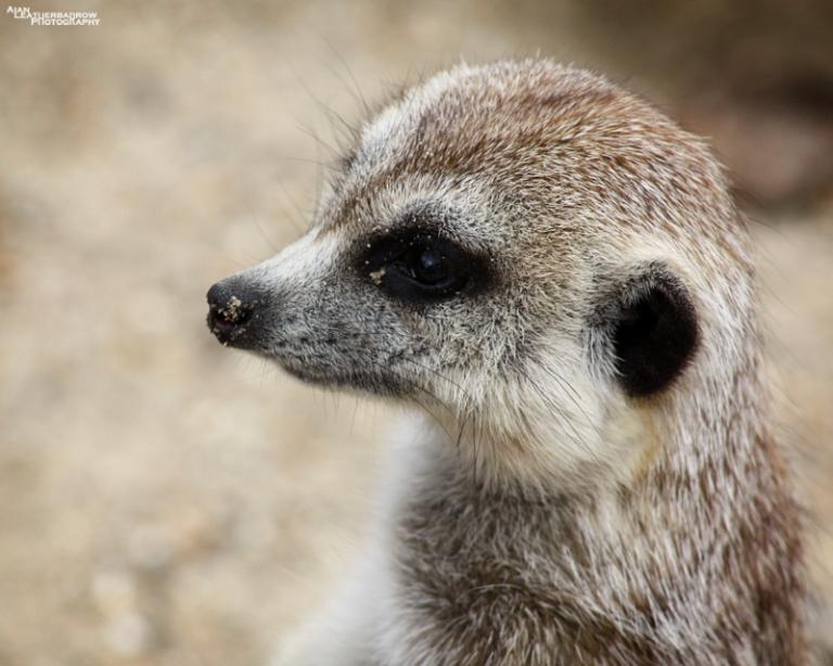 meerkat08154