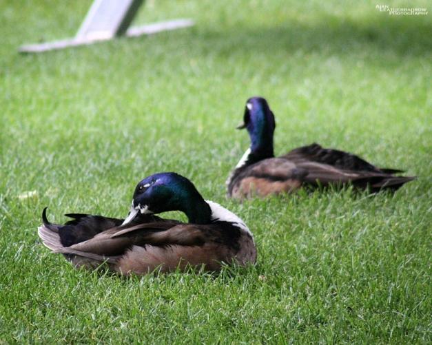 ducks0806161