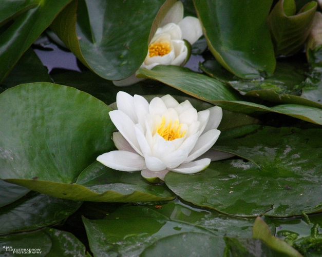 waterlily0806161