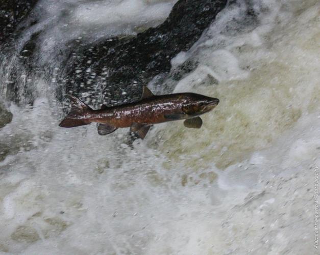 salmon-8552