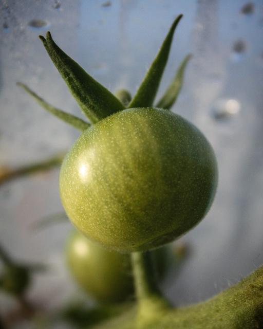 tomato-7967